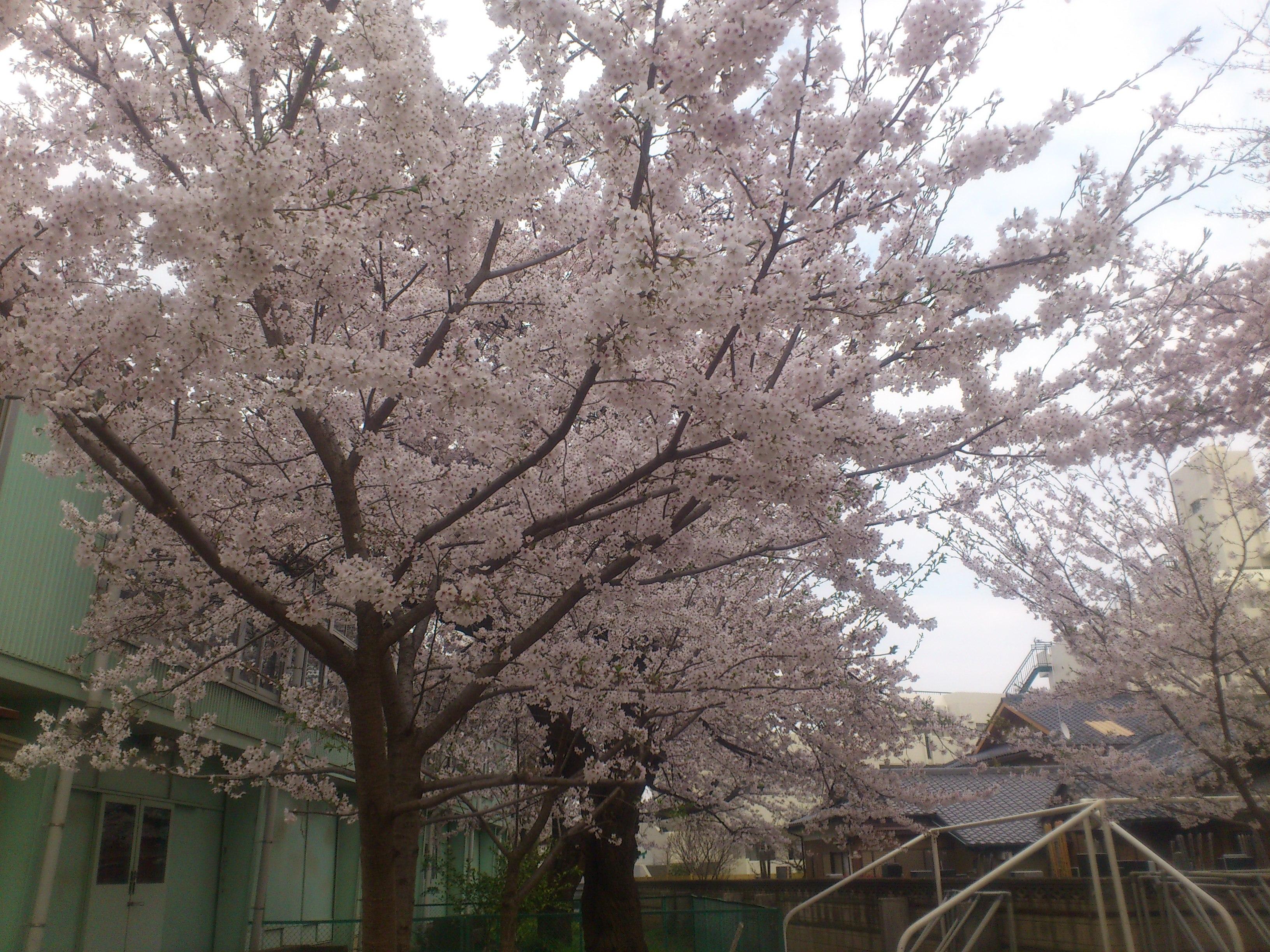 別所小学校の桜