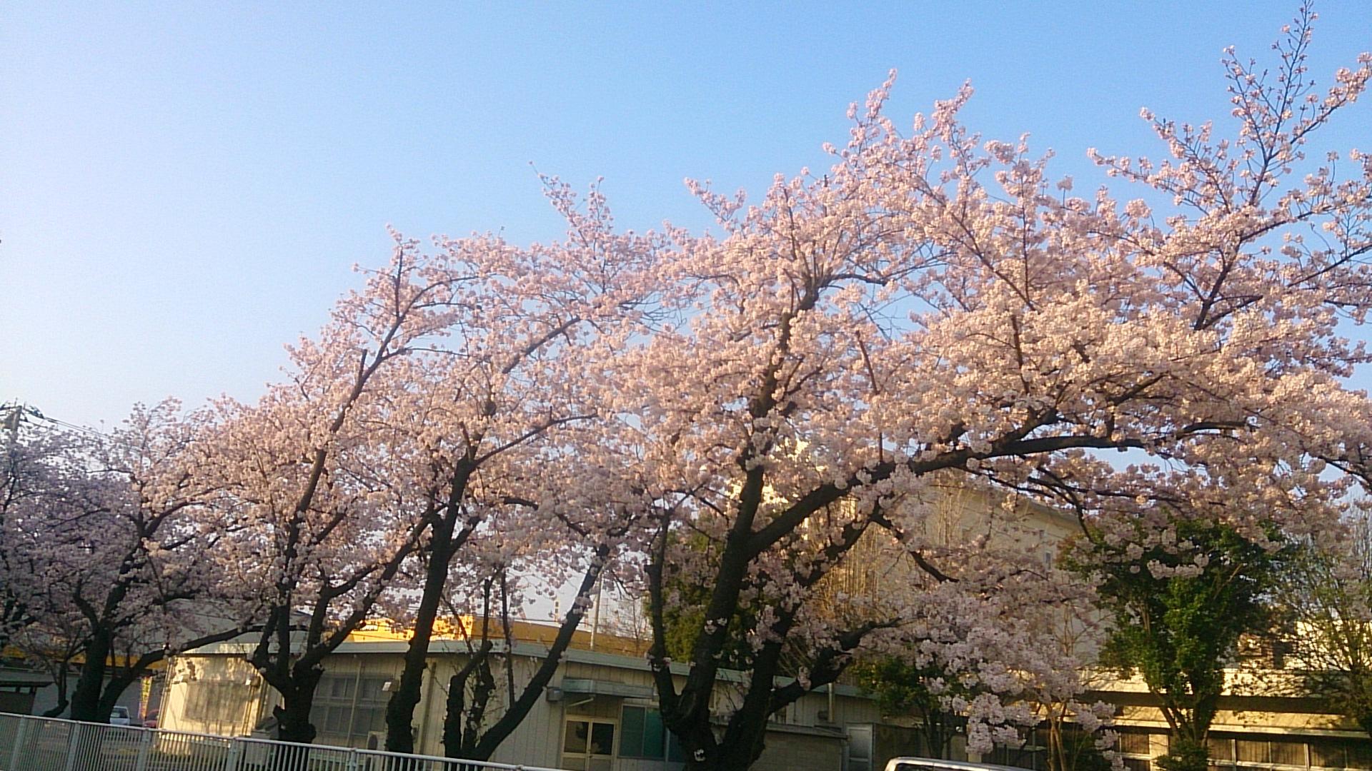 満開:武蔵浦和ロッテ寮の桜の開花状況