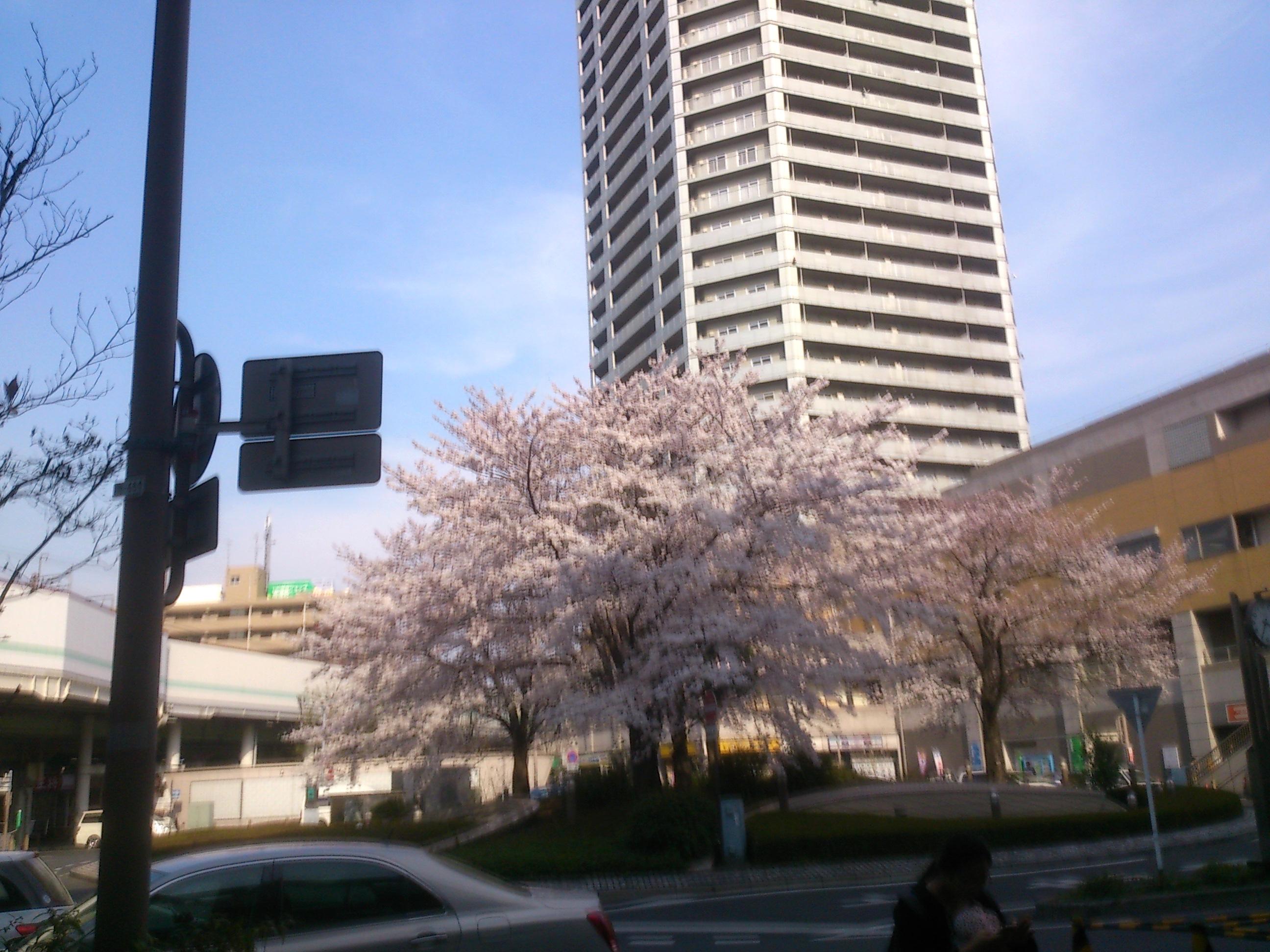 8分咲き:武蔵浦和駅東口ロータリーの桜の開花状況