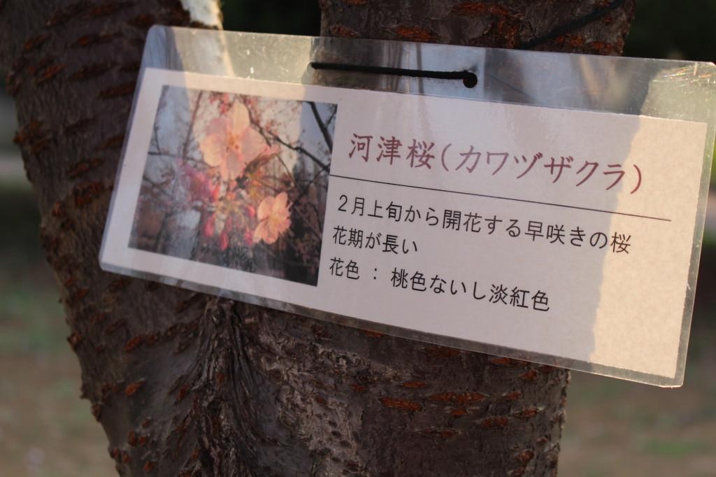 河津桜解説