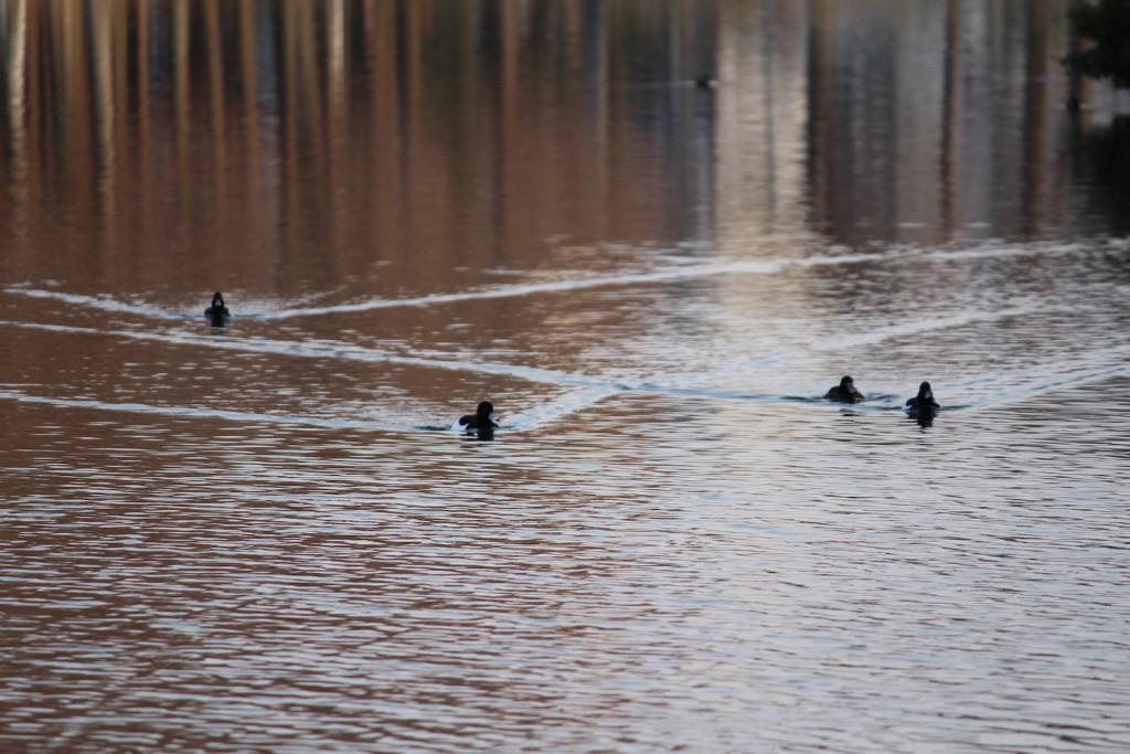 鴨の整列泳ぎ