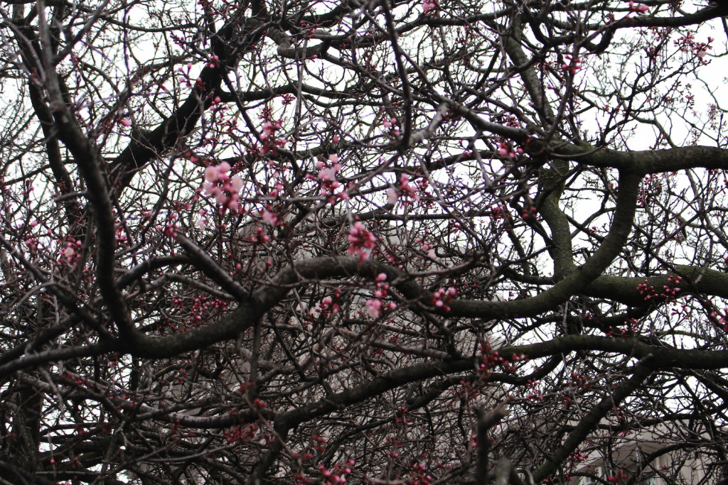 ロッテ社宅の桜
