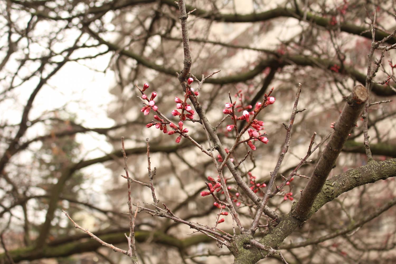 蕾:武蔵浦和ロッテ社宅の桜の開花状況