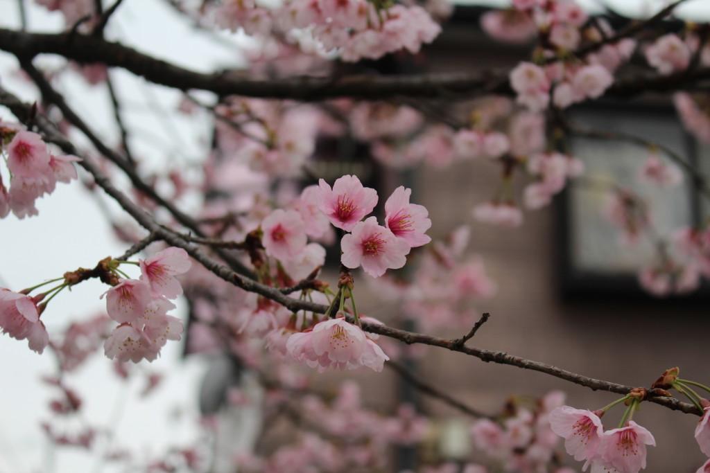 武蔵浦和駅西口交差点の桜