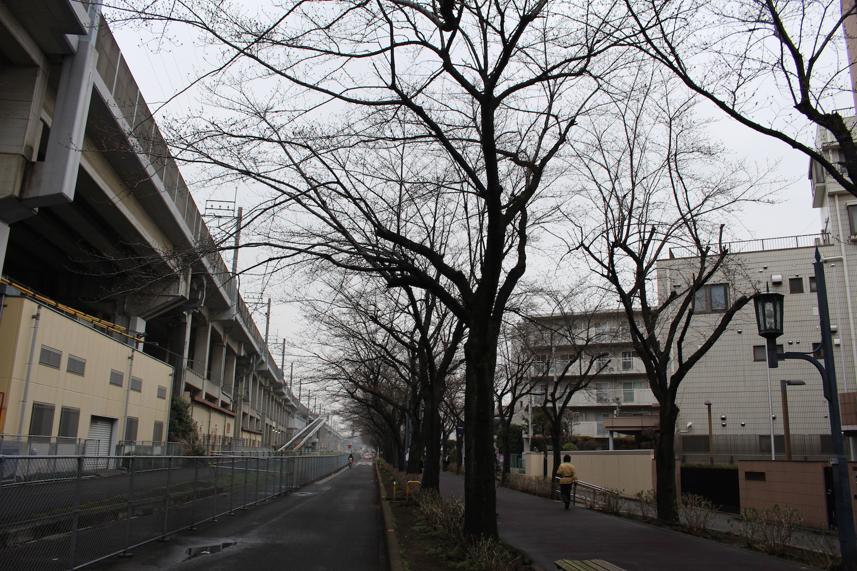 蕾:武蔵浦和駅東口遊歩道の桜の開花状況