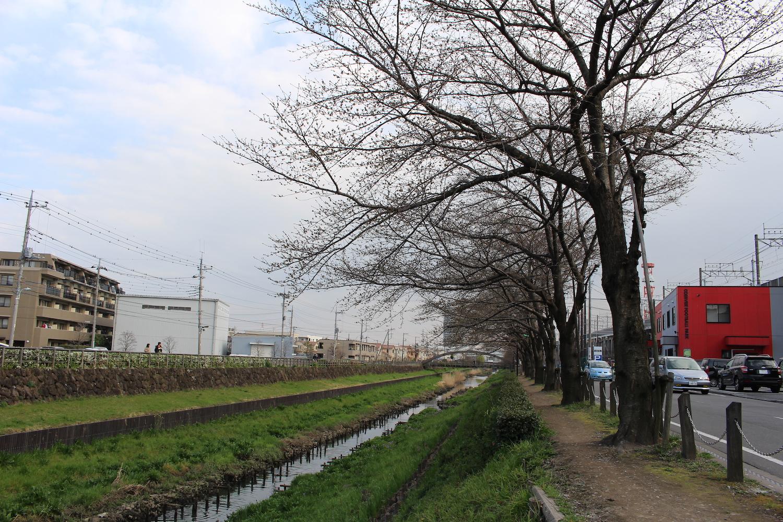 蕾:笹目川の桜の開花状況