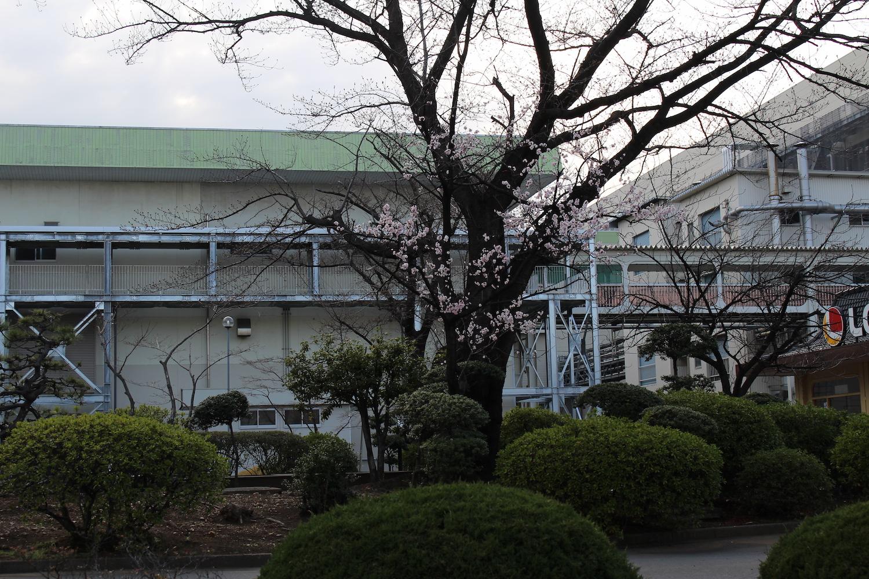 部分咲き:武蔵浦和ロッテ工場裏の桜の開花状況