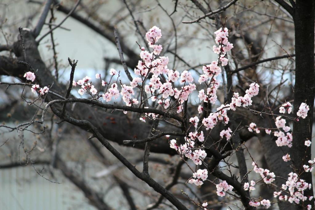 ロッテ工場の桜