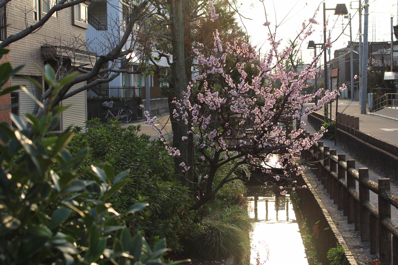 六辻水辺公園の桃の花