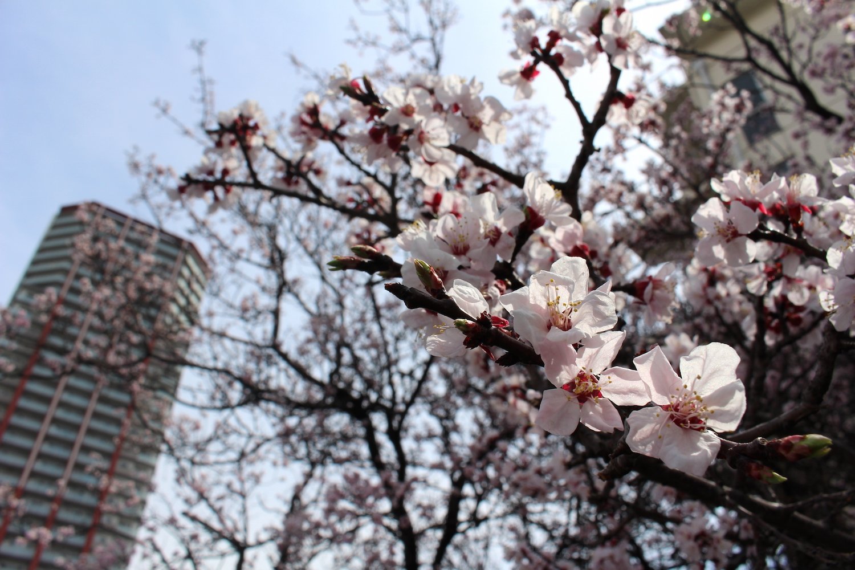 開花〜散り始め:武蔵浦和ロッテ社宅の桜の開花状況
