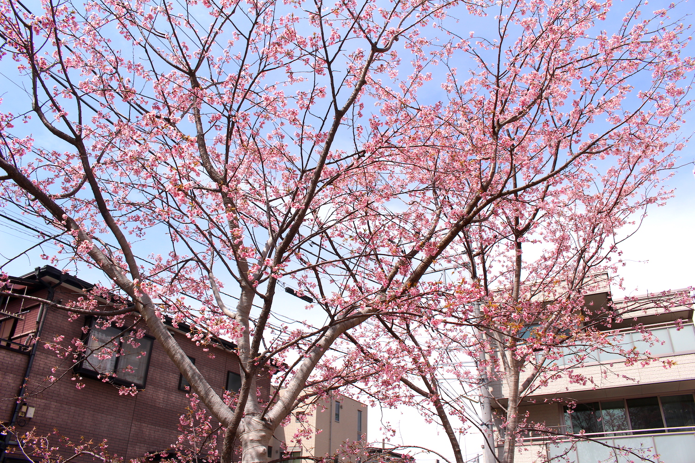 咲き終わり:武蔵浦和駅西口交差点の桜の開花状況