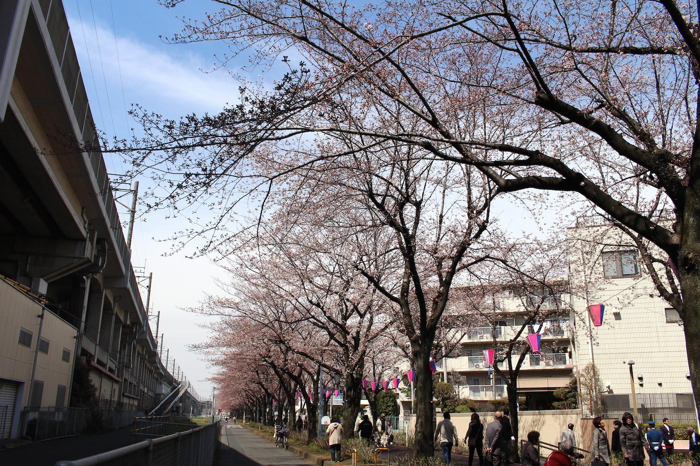 咲き始め:武蔵浦和駅東口遊歩道の桜の開花状況