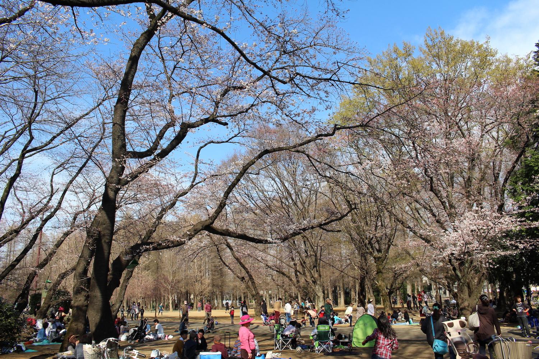 咲き始め:県立別所沼公園