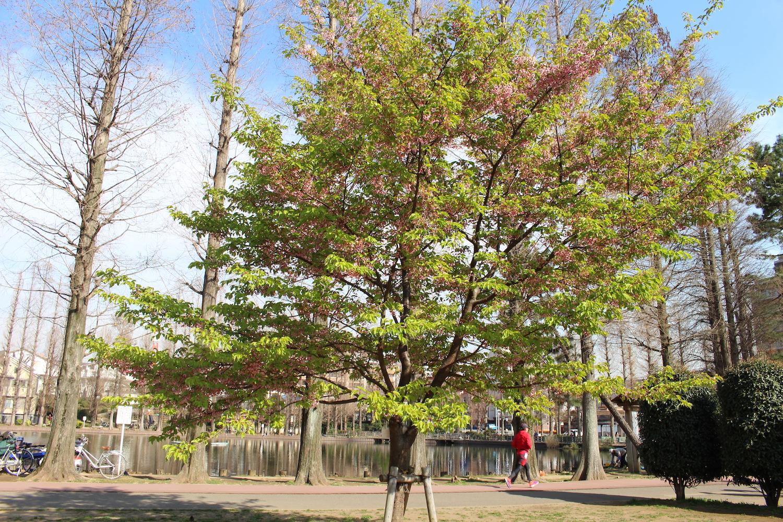 葉桜:県立別所沼公園の河津桜