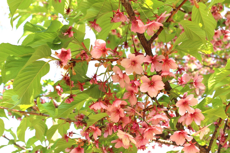 県立別所沼公園の河津桜