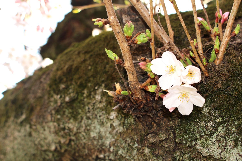 県立別所沼公園の桜