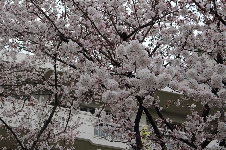 内谷中学校の桜