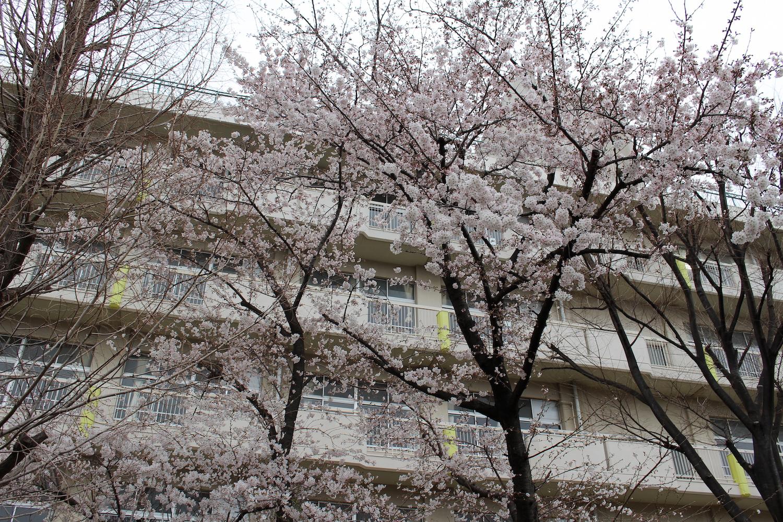 満開:内谷中学校の桜の開花状況