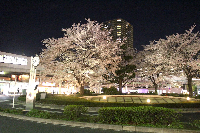 満開:武蔵浦和駅東口ロータリーの桜の開花状況
