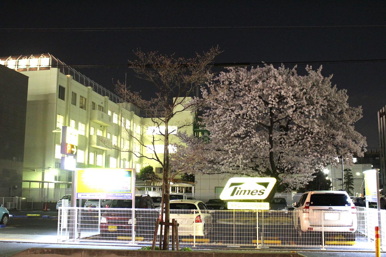 満開:三井住友銀行武蔵浦和支店の桜の開花状況