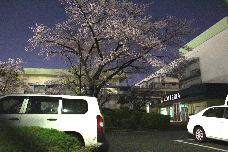 満開:武蔵浦和ロッテ工場裏の桜の開花状況
