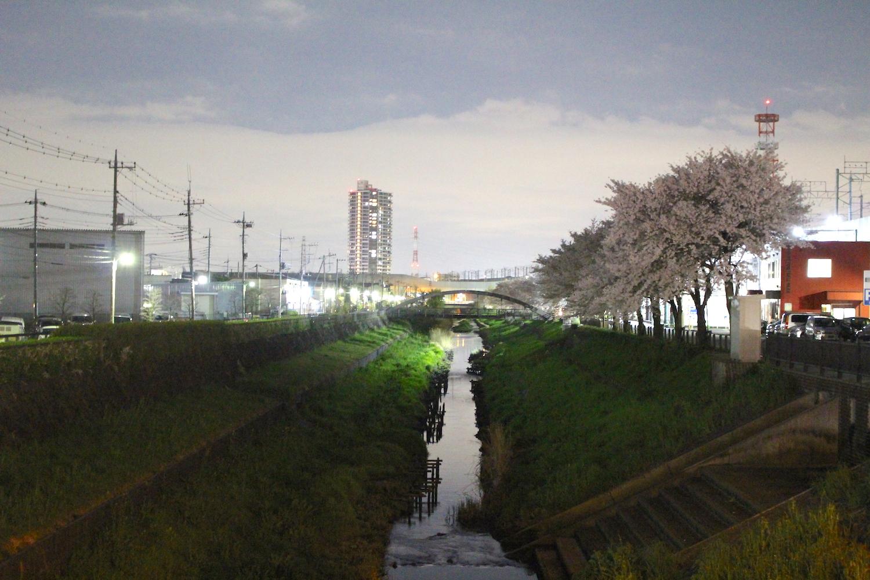 満開:笹目川の桜の開花状況