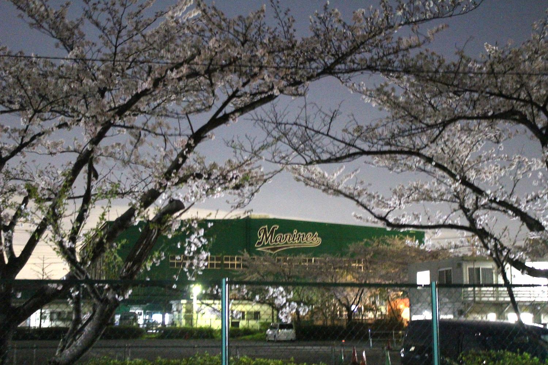 満開:ロッテ球場の桜の開花状況