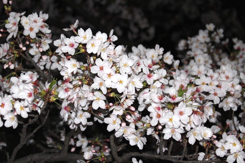 ロッテ浦和球場の桜