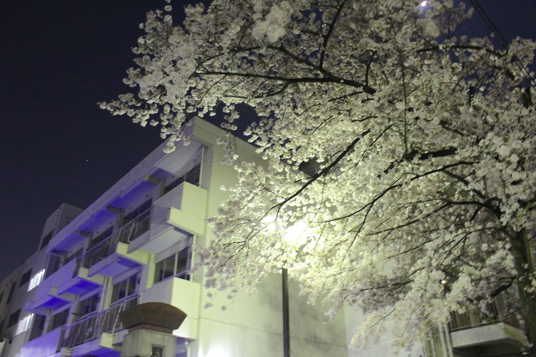 沼影小学校の桜