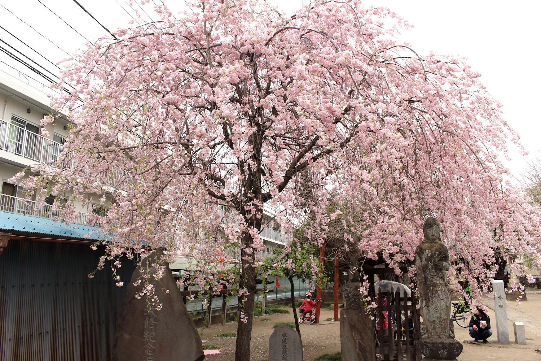 満開:沼影観音堂のしだれ桜