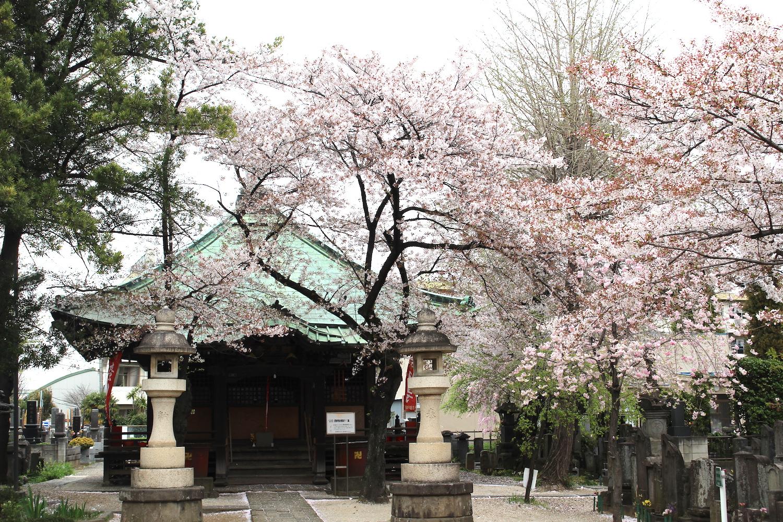 咲き終わり:沼影観音堂の桜
