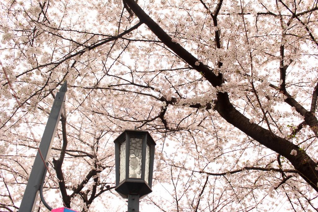 花と緑の散歩道の桜