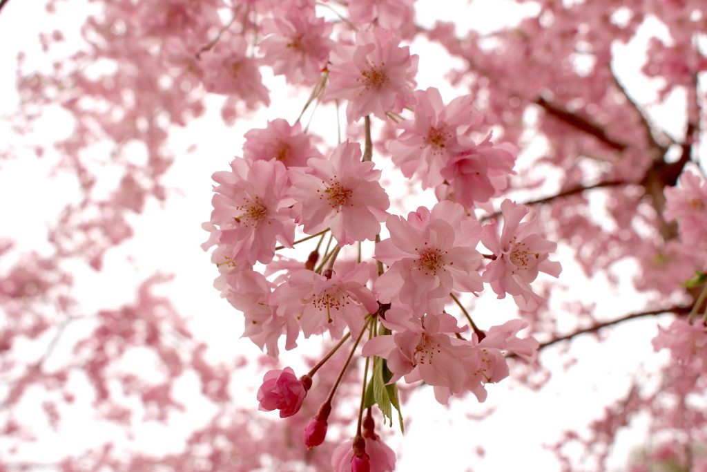 別所沼公園のしだれ桜