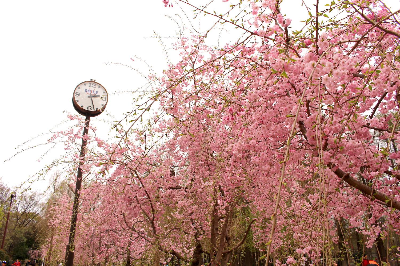 満開:県立別所沼公園のしだれ桜