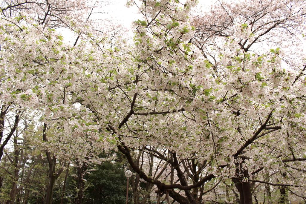 別所沼公園のソメイヨシノ