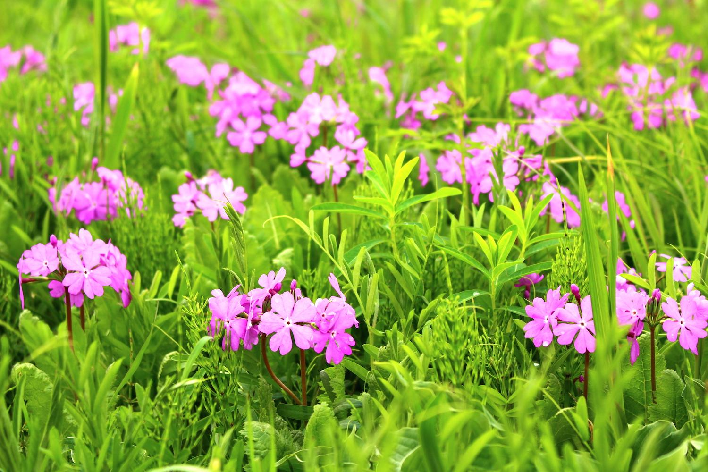 田島ヶ原のさくら草