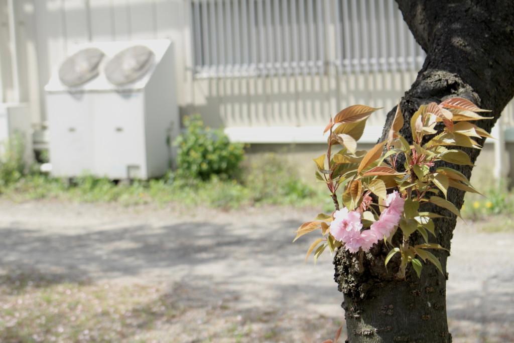 武蔵浦和ロッテ寮の八重桜