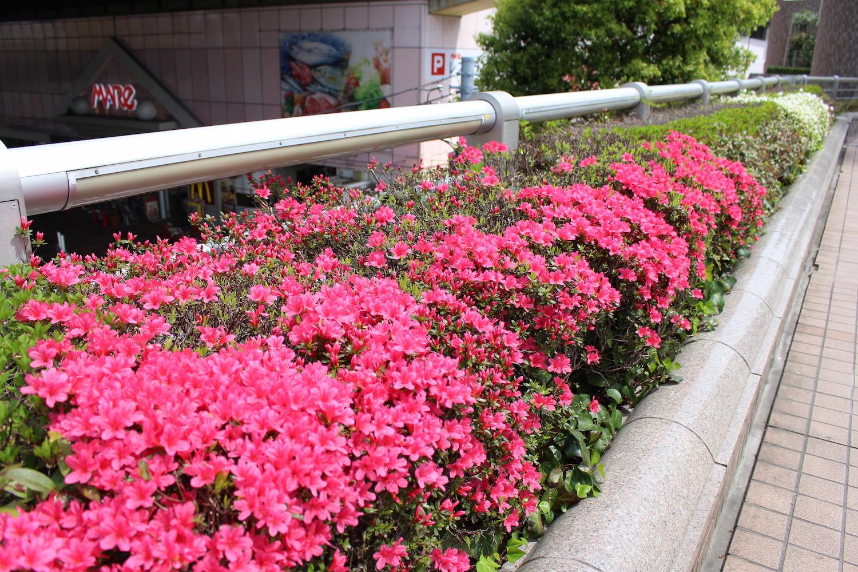 武蔵浦和駅西口のつつじ