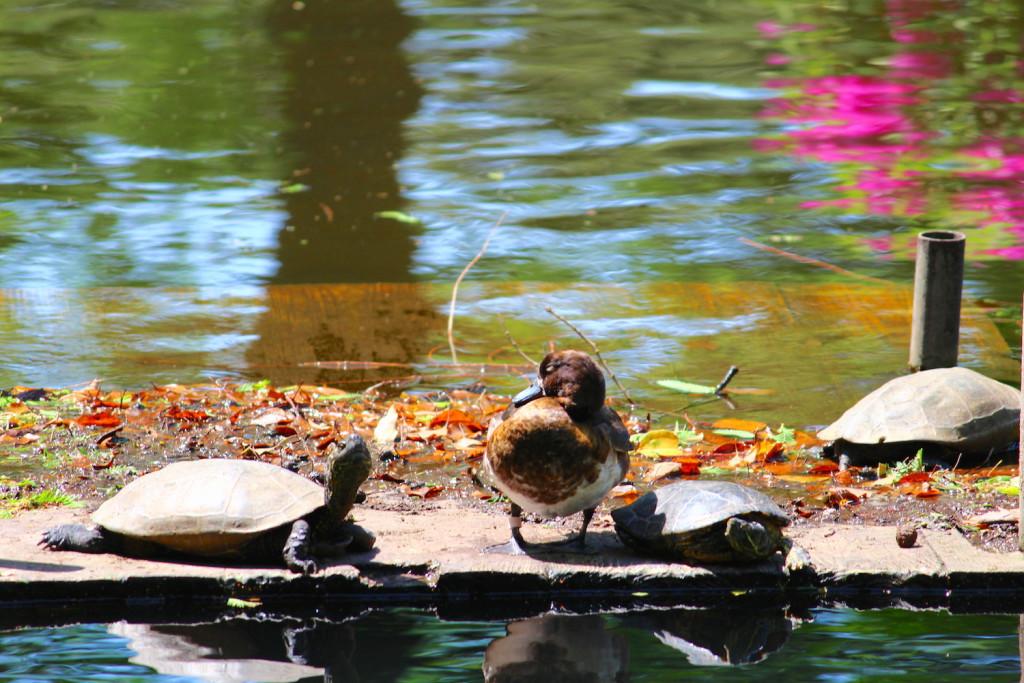 池のカモとカメ