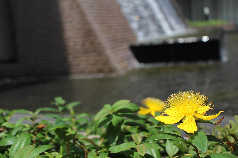 水場の黄色い花(ラムザ)