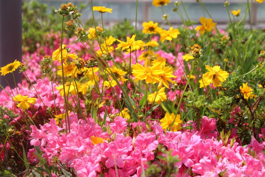 ツツジと黄色い花