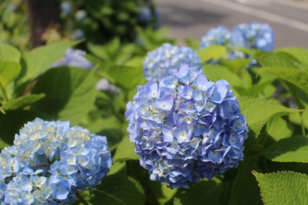 「花と緑の散歩道」の紫陽花