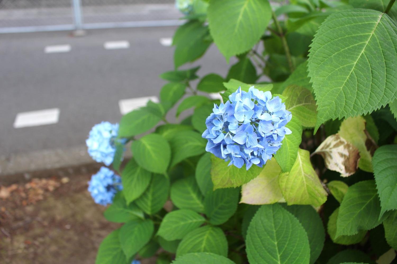 「花と緑の散歩道」の紫陽花(駅の北側)