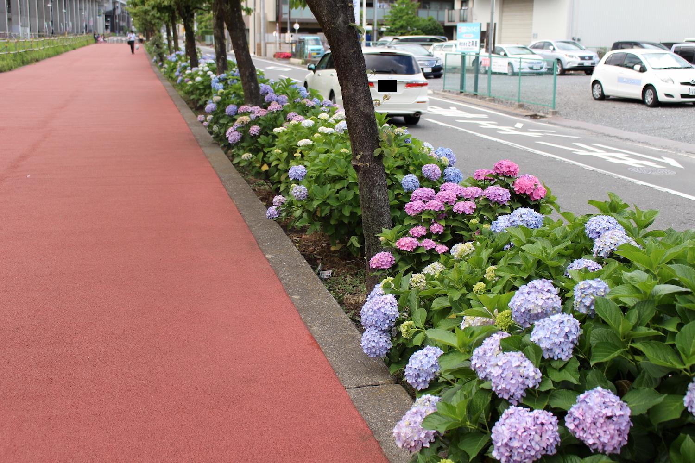 「花と緑の散歩道」の紫陽花が見頃(駅の南側)