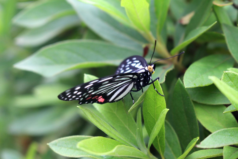 雨上がり。草の上で休む揚羽蝶