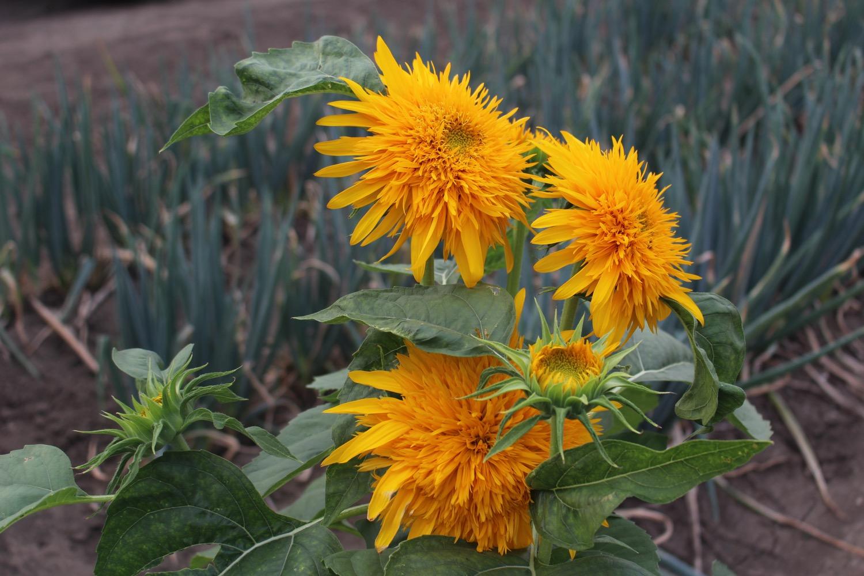 ひまわりみたいな黄色い花