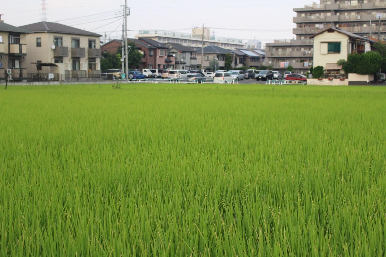 稲が生い茂る田んぼ