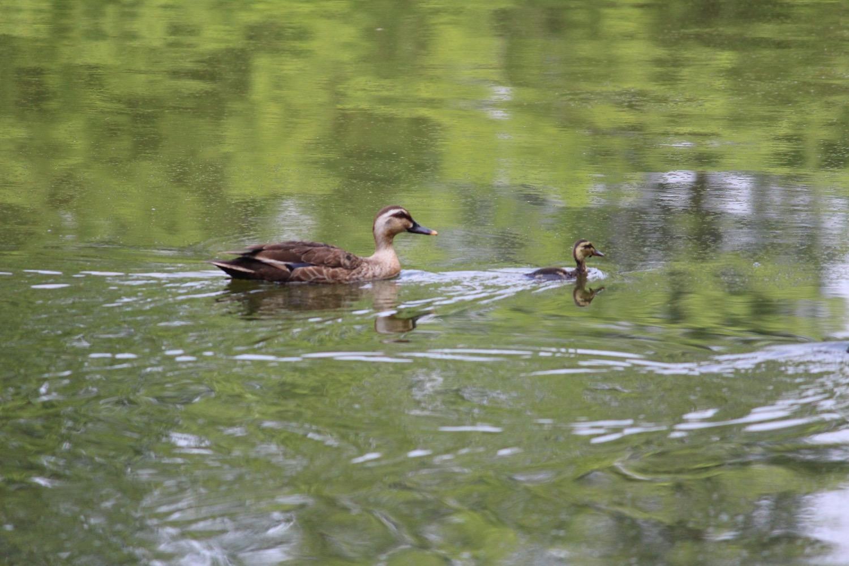 別所沼公園の親子鴨