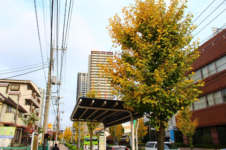 田島通りのイチョウ