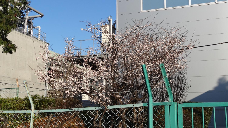 ロッテ工場の梅の花